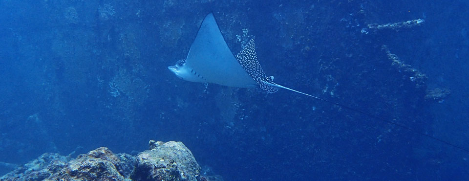 Eagle Ray at Astron Wreck